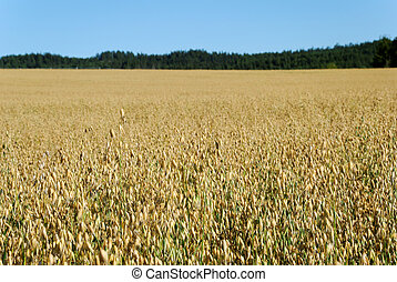 Oats Field Horizontal