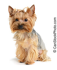 small dog - cute yorkshire terrier isolated on white