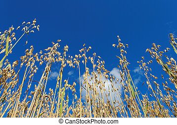 Oats on Blue Sky - Low angle view of oat straws against deep...