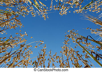 Oats from Below - Ground-up view on oat straws against blue...