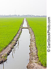 Ditch is between rice fields.
