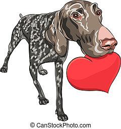 vector dog Kurzhaar breed holding a red heart - curious...