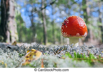 Fly agaric in wood