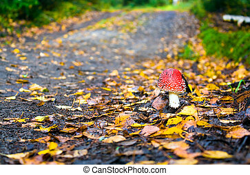 fly agaric - Road to autumn wood and the fly agaric which...