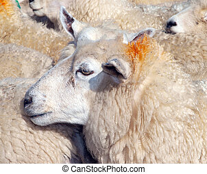 Ewe with an orange hair do