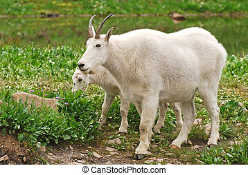 Two mountain goats - Mother and baby mountain goat grazing...