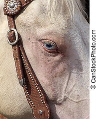 Evil Eye - Blue eyed white horse keeping a careful watch at...