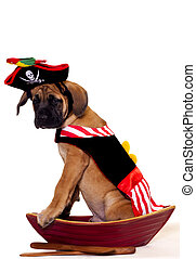 Pirate puppy - English Mastiff puppy dressed up as a pirate...