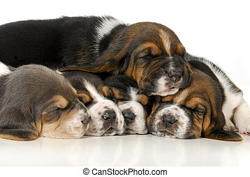 pile of puppies - litter of basset hound puppies - 3 weeks...