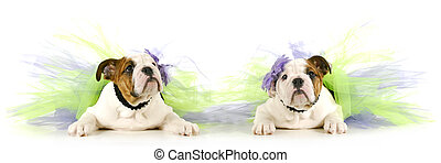 tutu babies - two english bulldog puppies wearing tutus on...