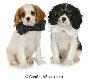 two cute puppies - cavalier king charles spaniel puppies...