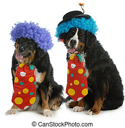 funny dogs - two bernese mountain dogs dressed up like...