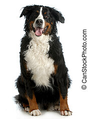 bernese mountain dog sitting looking at viewer isolated on...