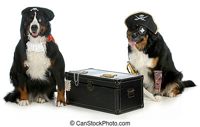 two pirates - pirates - two bernese mountain dogs dressed up...