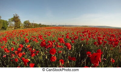 Poppies in the field - Field of blossoming poppies on a...