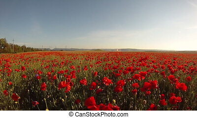 Poppies in the wind - Huge field of poppies in the wind