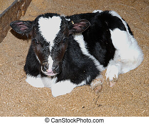 Day Old Calf - Day old Friesian calf on a bed of sawdust