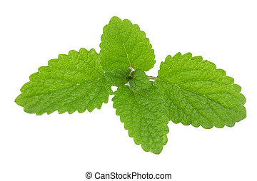 Melissa, lemon balm - sprig of lemon balm on white...