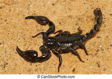 escorpião, luta, posição