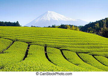 Green Tea Fields VI - Rows of fresh green tea with Mt Fuji
