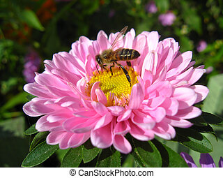 The bees sitting on the aster - The bees sitting on the and...