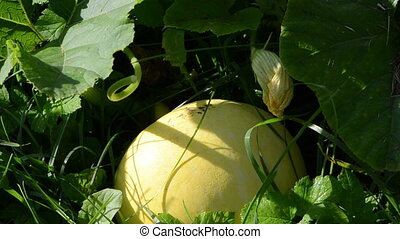 pumpkin vegetable dew - morning dew drops on pumpkin...