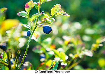 Closeup of blueberries in forest