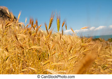 Close up of a wheat on a field