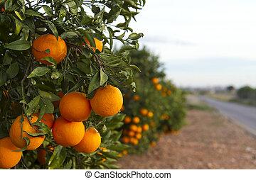 Valencia orange trees - Orange orchards in Valencia, Spain