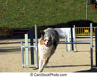 Dog  doing his paces in an agility competition.