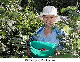 The gardener - an elderly woman collects raspberries in the...