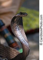 Cobra - King cobra snake in northern India