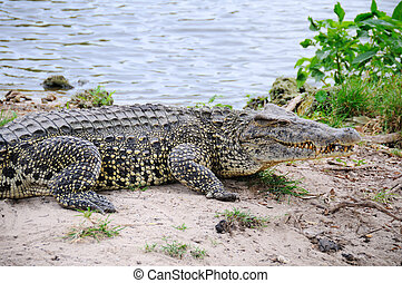 Alligators on natural habitat on Guama Lagoon, Cuba