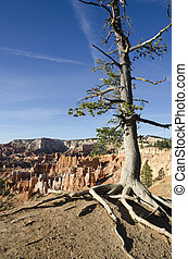 Bryce Canyon National park - tree in Bryce Canyon National...