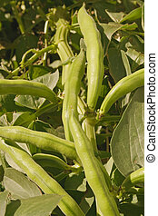 Growing broad beans - Fresh green broad beans pods on stern...