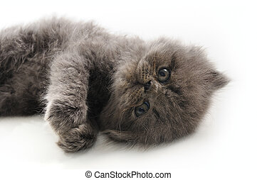 Sweet persian kitten - Portrait of young little persian cat...