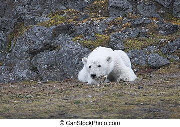 Young polar bear in the Arctic