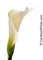 Calla lilly - Detail of calla lily flower isolated over...