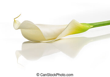 Calla lily flower - Detail of calla lilly flower isolated...