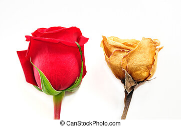 Old and new - Red new rose and dried rose - Old and new...