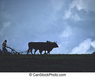 Farmer Plowing with Oxen 3 - A Mexican farmer plows a field...