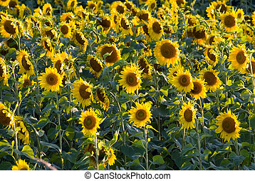 Sunflower Field - Alot of sunflowers scattered in a field