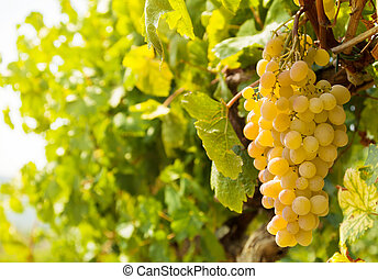 Sweet harvest - beautiful bunches of grape are ready for...