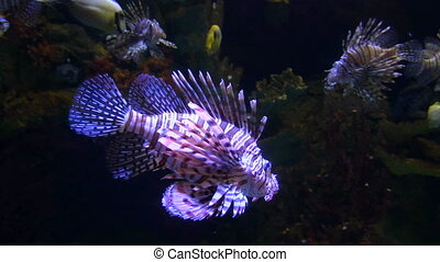 Lionfish swims captive in a large aquarium