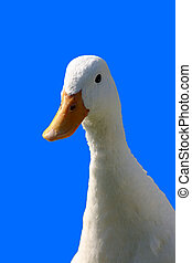 White duck - Sweet white duck on blue background