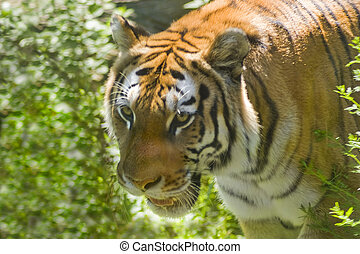 Tiger - A ferocious tiger on the prowl in a natural setting.