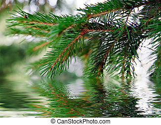 branch of pine-tree - Green branch of pine-tree reflected in...