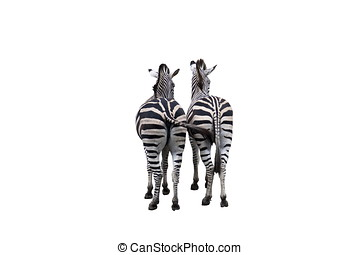 two zebras isolated on white background