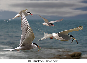Terns Fly Home - Arctic Terns returning to their mates with...