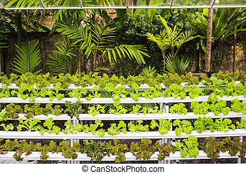 Hydroponic vegetables in garden - Organic hydroponic...